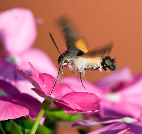 papillon-45.jpg