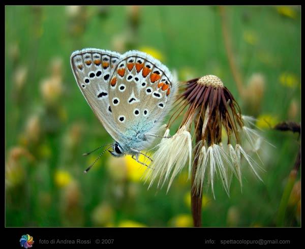 papillon-51.jpg