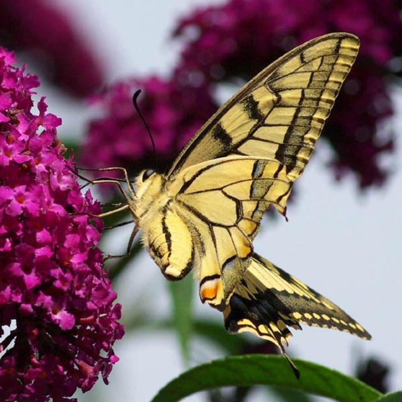 papillon-57.jpg