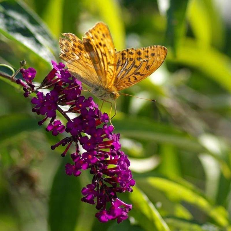 papillon-58.jpg