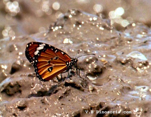 papillon-d-1-12e4efb.jpg