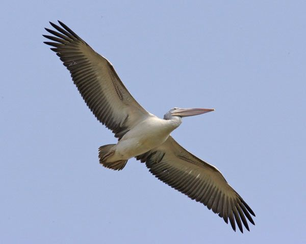 pelican-3-173c9cf.jpg