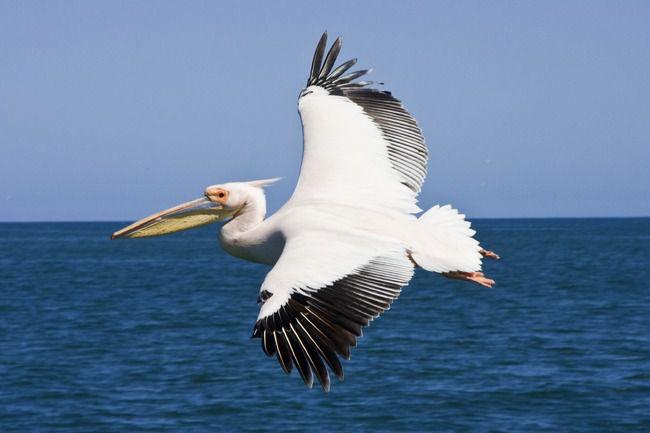 pelican-en-vol-oiseaux-26b840T650.jpg