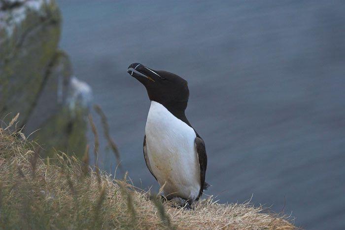 petit-pingouin-186b7eb.jpg