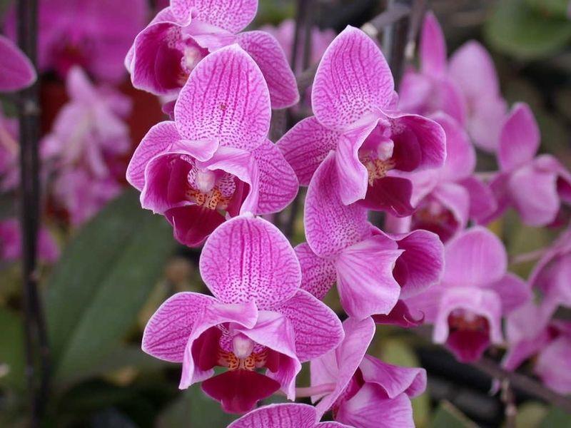 phalaenopsis_mauve.jpg