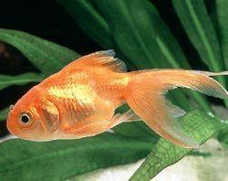 poisson-rouge-159e1a5.jpg