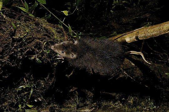 rat-a-poils-laineux.jpg