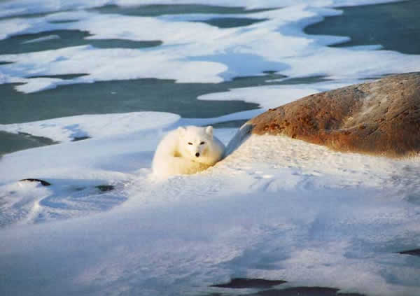 renard_arctique_cc05.jpg