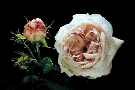 rose-365f25.jpg