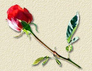 rose_rouge.jpg