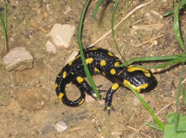 salamandre-tachetee-208db78.jpg