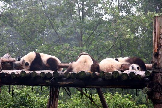 sanctuaires-grand-panda-771345.jpg