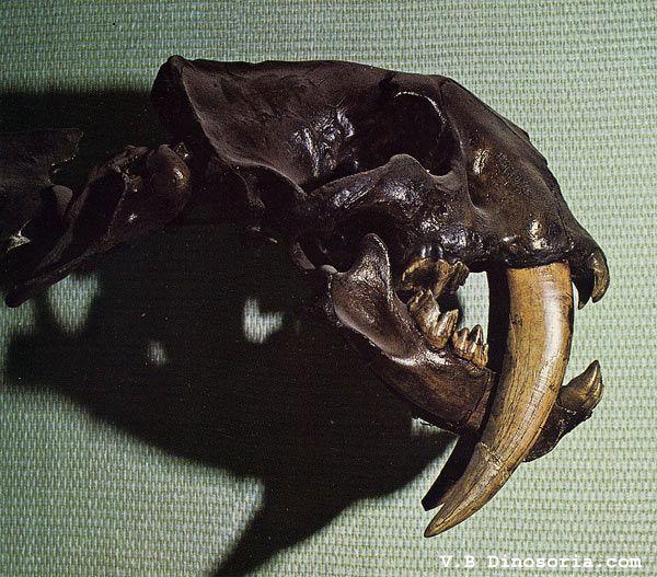 smilodon-d-1-1757dfb.jpg