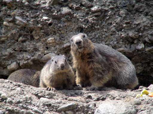 Les surprises de l'Ecologie - Marmottes insomniaques -