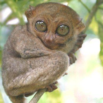 tarsier-588524-20e0c24.jpg