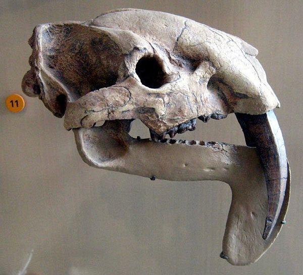 thylacosmilus.jpg