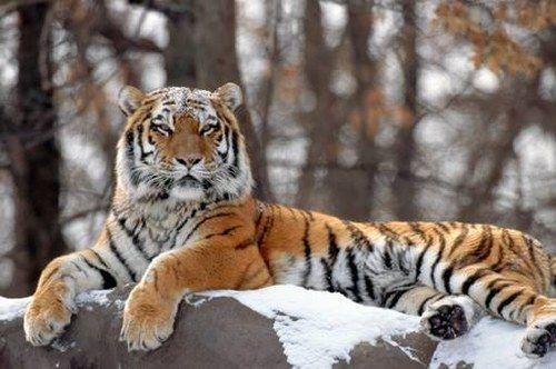 tigre-de-siberie_H180943_L.jpg