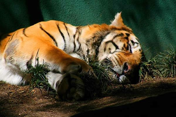 tigre-dort-13a3754.jpg