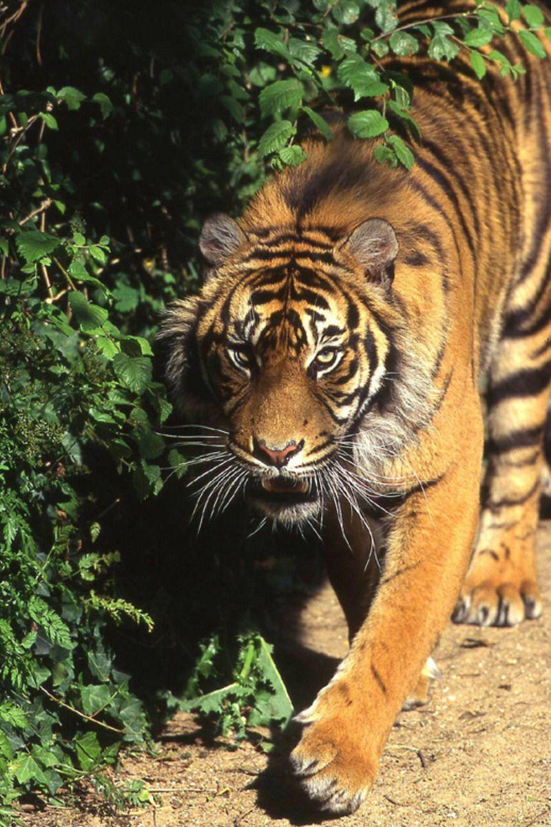 tigre01def.jpg