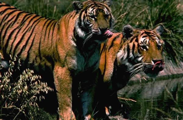 tigre_duo.jpg
