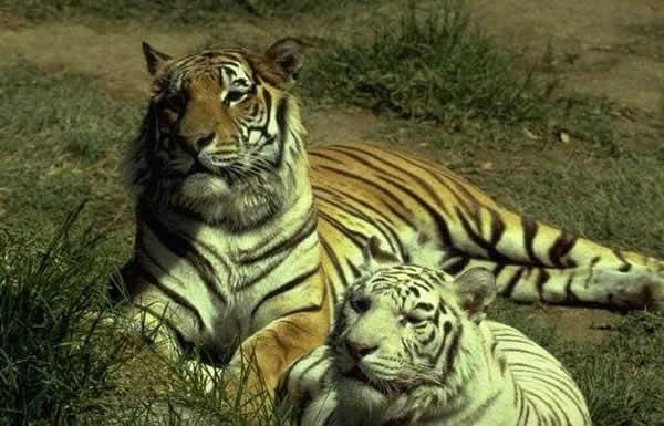 tigre_ld2.jpg