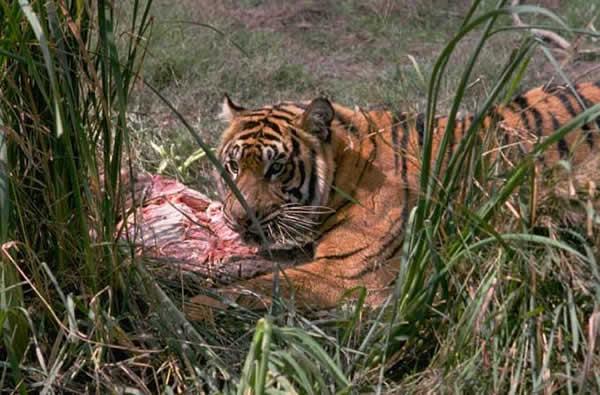 tigre_repas.jpg