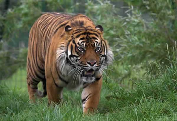 tigre_sumatra_02.jpg