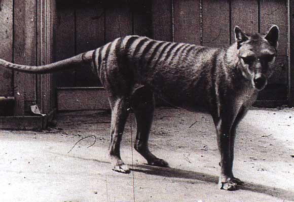 tigre_tasman_002-6550f5.jpg