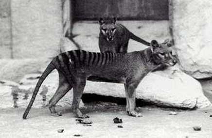 tigre_tasman_005-654f9f.jpg