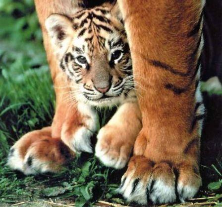 tigres_m.jpg