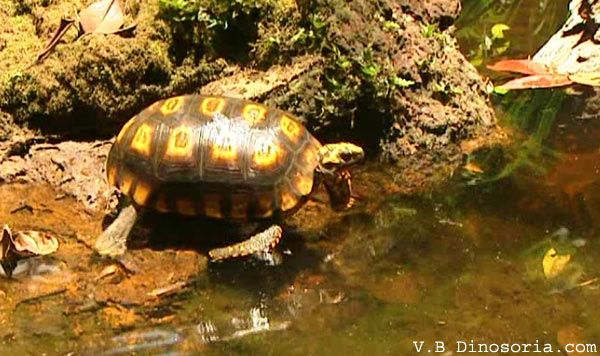 tortue-charbonniere-d-1.jpg