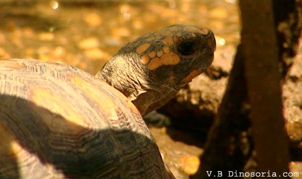 tortue-charbonniere-d-3.jpg
