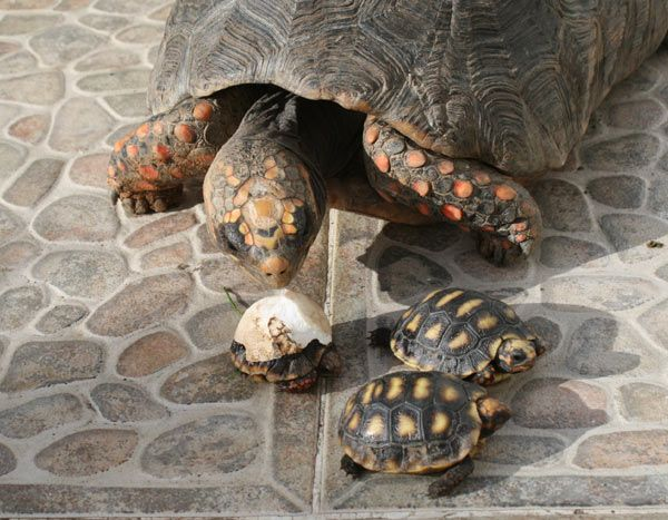tortue-charbonniere-d-5.jpg