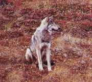 toundra-loup-6284a2.jpg