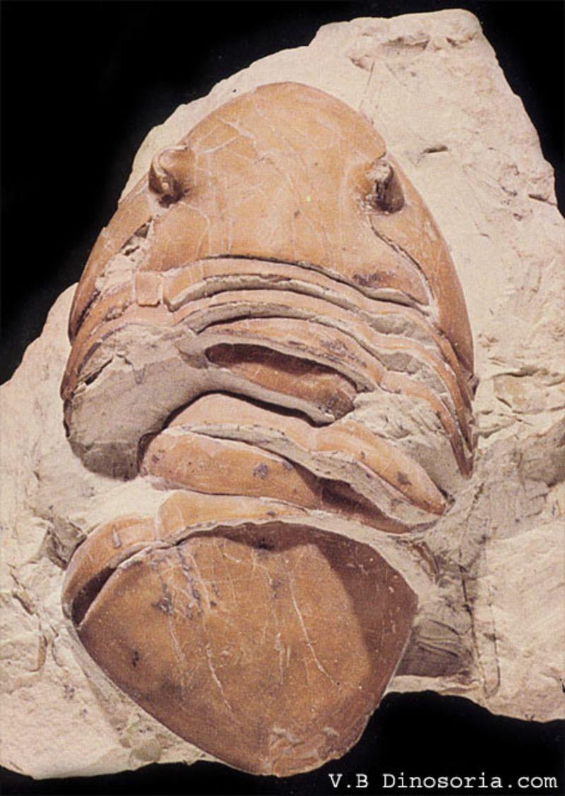 trilobite-d-1-195d707.jpg