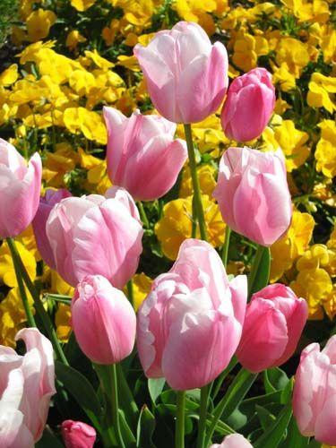 tulipe-20don-20quichotte-bd8c9d.jpg