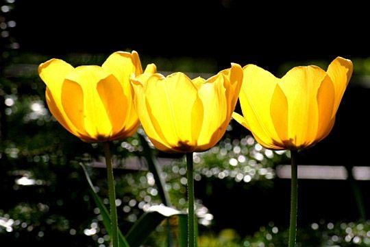 tulipe-510125-1b1353b.jpg