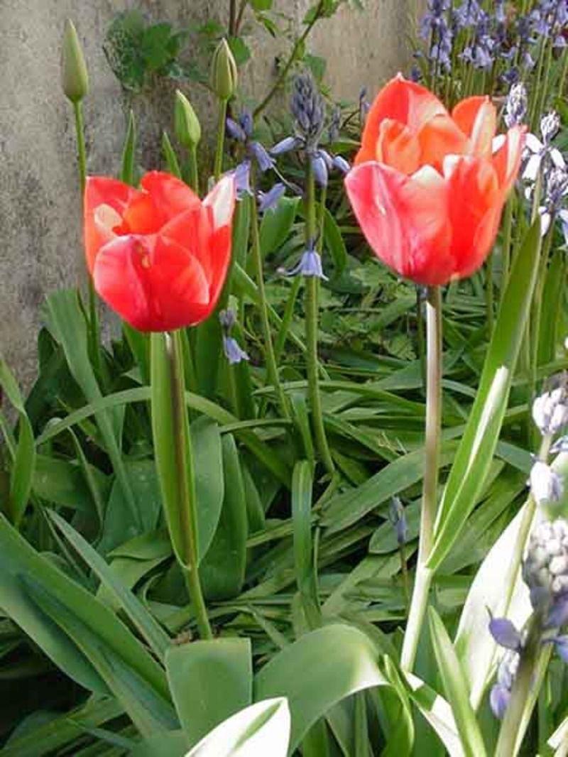 tulipes-mvc-595f-1b13498.jpg