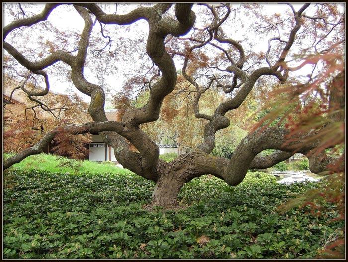 Le s jardin s le jardin japonais for Arbres jardin japonais