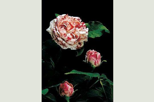 variegata-di-bologna-302952-2217e3b.jpg