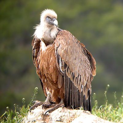 http://acoeuretacris.a.c.pic.centerblog.net/vautour-fauve.jpg