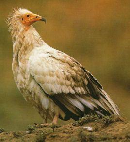 vautour-percnoptere-.jpg