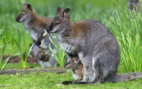 wallaby_1400252c.jpg