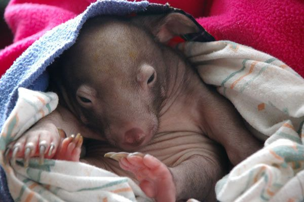wombat-8002.jpg