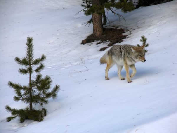 yellowstone-coyote.jpg
