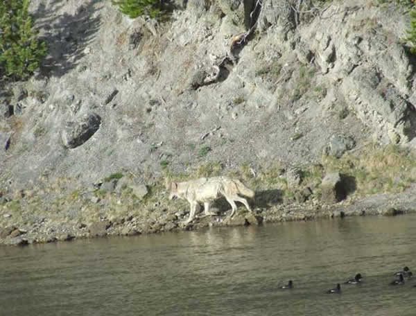 yellowstone-loup.jpg