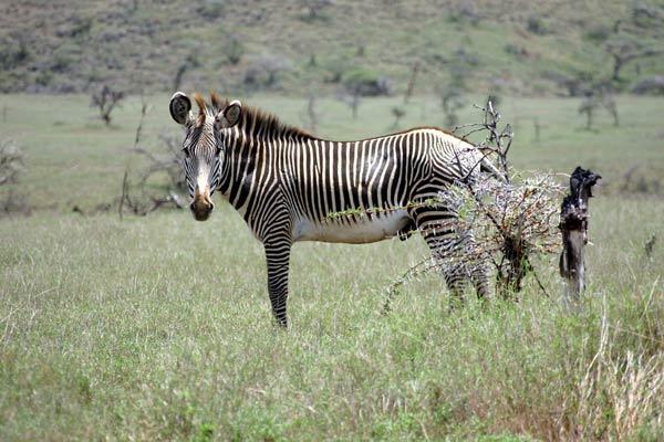zebre-grevy.jpg